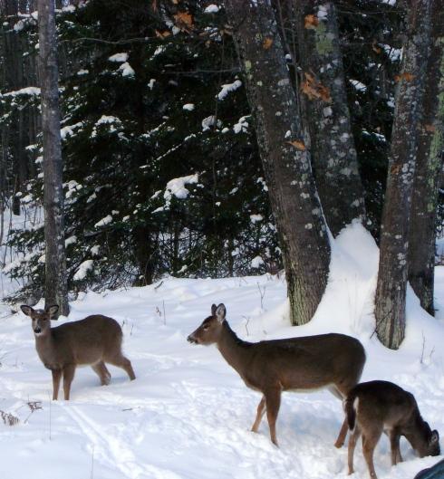 Deer grazing in the snow outside the front door