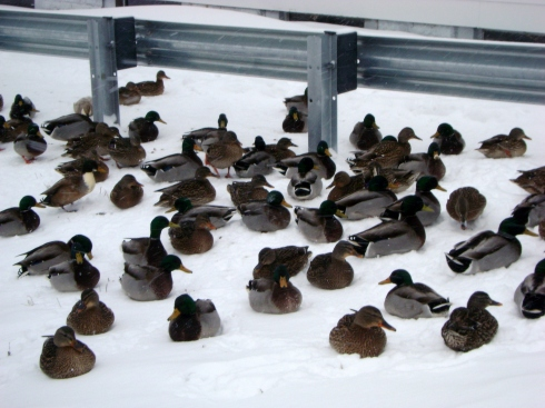 Ducks in winter
