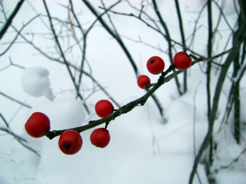 Red winter berries in snow