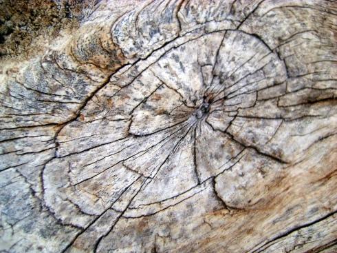 Whorls in an old deer salt lick tree trunk