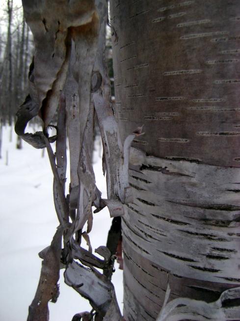 White birch tendrils