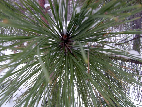 Lean in close to meet the circling pine needles