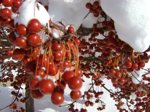 Clusters of red berries in the white snow