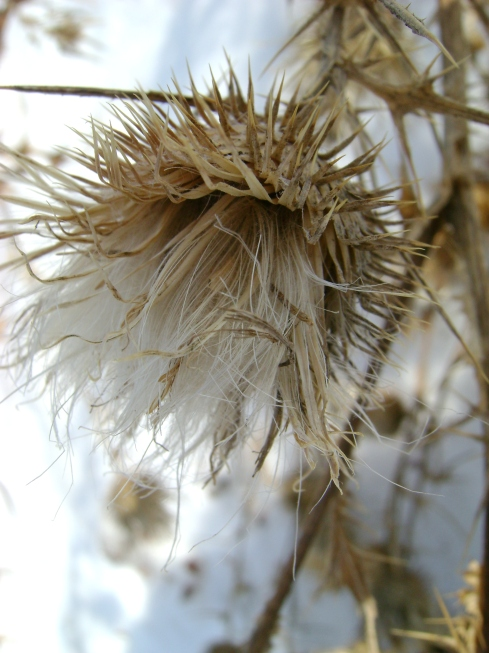 Soft underbelly of thistle