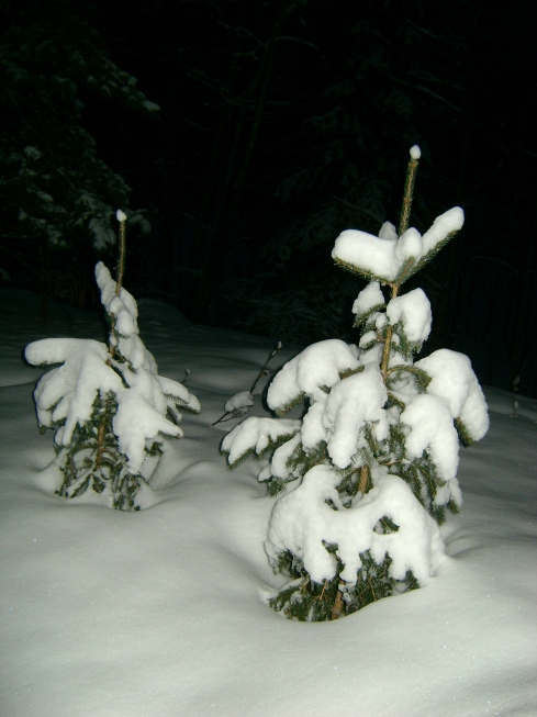 Baby spruce trees at twilight