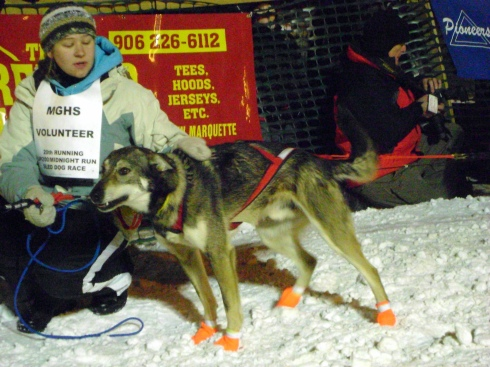 Sled dog with volunteer.  Ready to run!