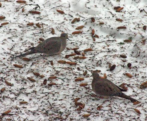Mourning doves through kitchen window with my husband's camera