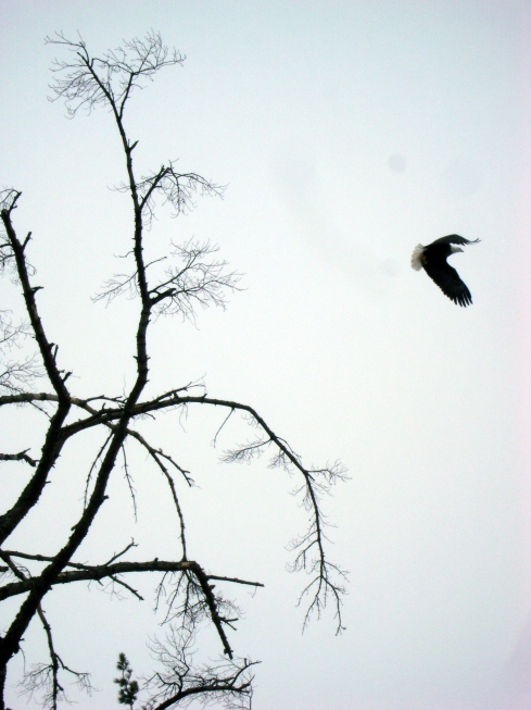 Bald eagle bursts out of tree, flying up to the sky
