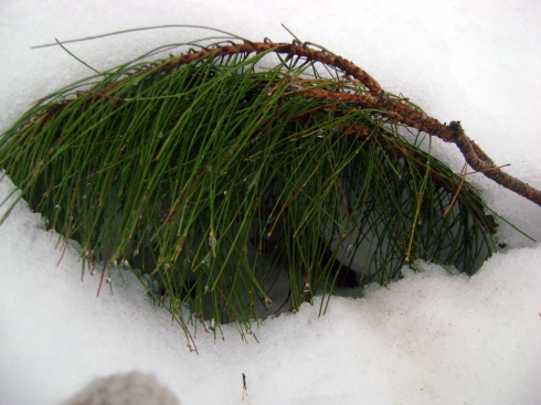 Tiny pine bent over, captured in snow