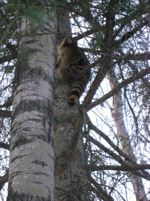 Hi raccoon!  Don't be scared.  Don't burrow your nose in that tree.