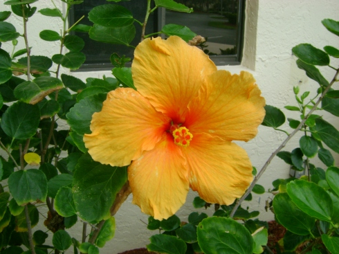 Gorgeous Florida yellow blossom