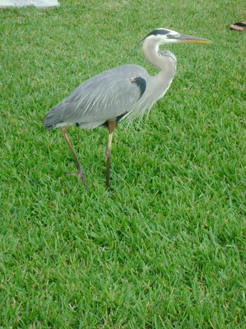 Hungry blue heron begging fishermen for fish snacks