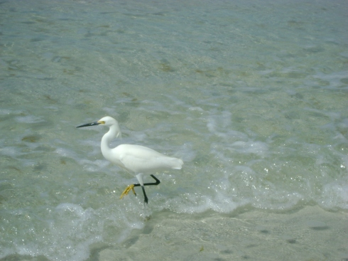 Snowy egret at the shore