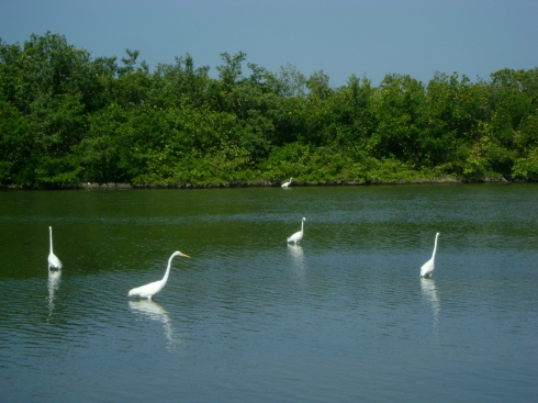 Egrets in the hurricane-created lagoons