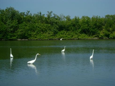 Egrets in the hurricane-created lagoons