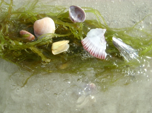 Shells in bright green seaweed