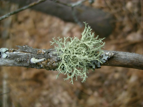 Beautiful lichen...or is that moss?  Anyone know the difference?