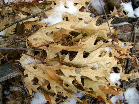 Yellowed oak leaves in a cluster
