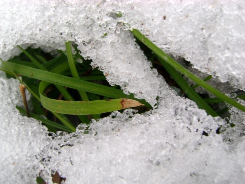 Green grasses survive the winter; peeking up through snow