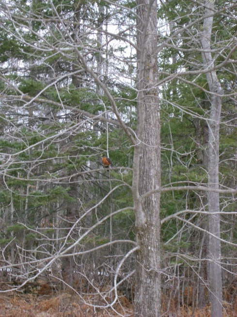 The first definitive robin sighting.  Hurray!  They're really back!