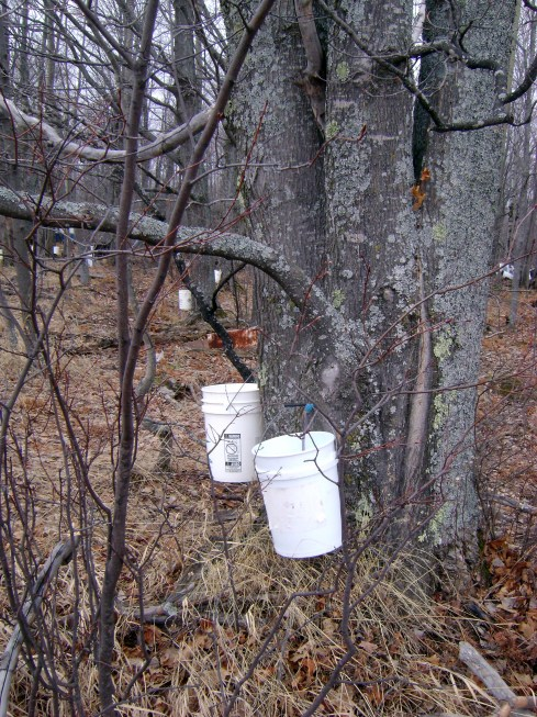 Somebody is tapping those maple trees for sap
