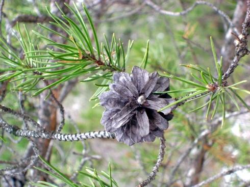 Beautiful pine cone