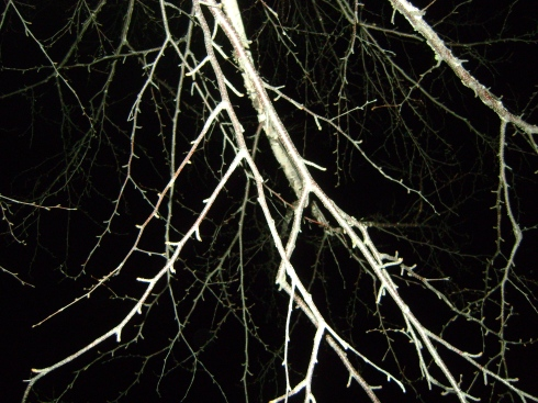 Birch branches in the dark