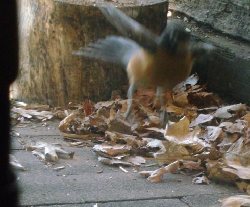 Our fluttering desperate crazed love-strung robin