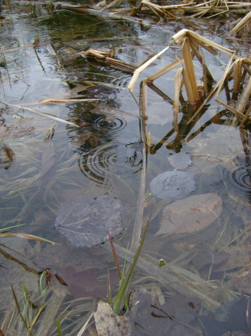Raindrop ripples in the pond
