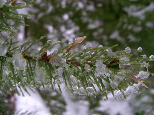Glistening snow on the evergreens