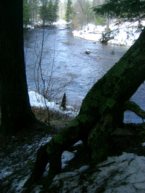 "A tree with ""legs"" resting beside the river"
