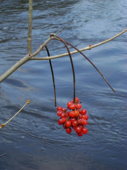 Precious red berries dangling over river