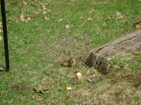 Chipmunk beneath the bird feeder
