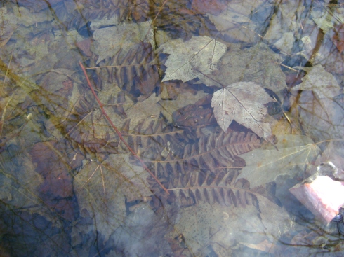 Underwater ferns and leaves in forest pond