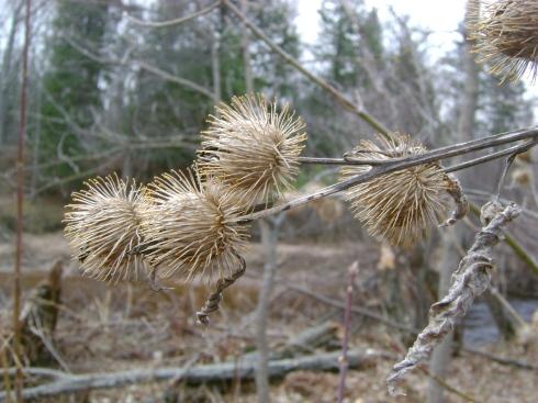 Burdock burs...Nature's own Velcro