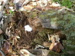 What is that buried in the old rotting log?