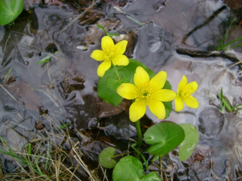First sighting of marsh marigolds