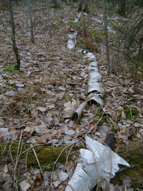 Rotting decaying birch tree