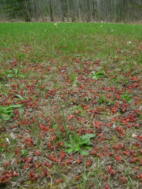 A carpet of red maple buds beneath a tree