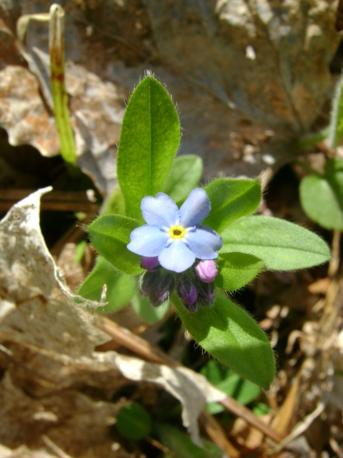 The tiniest little forget-me-not.  Let's not forget her.