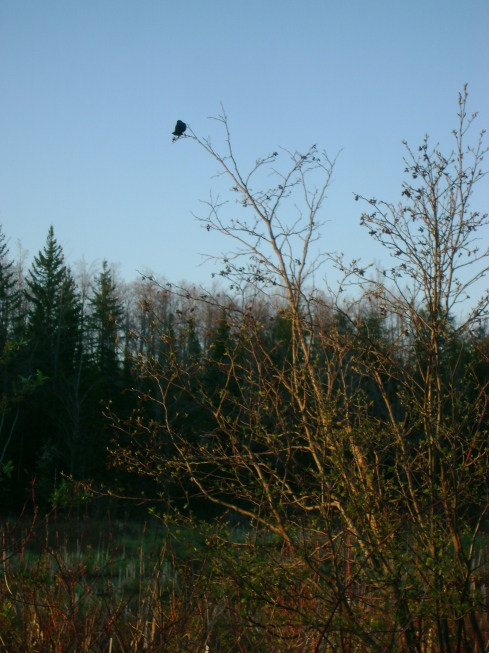 The only bird which allowed itself to be photographed (redwing blackbird)