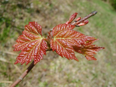 Vibrant red maple leaves bursting forth