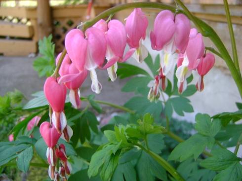 Bleeding Heart in our perennial garden blooms