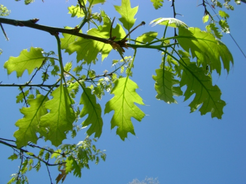 Sunlight filters through the tiny green growing oak leaves