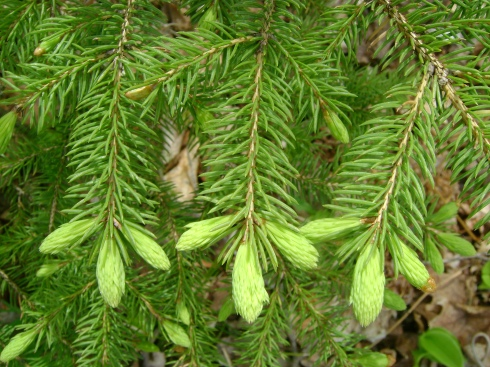 Three new spruce buds (or fingers, or whatever you want to call them)