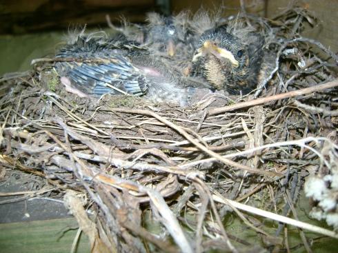 Disadvantaged robin babies