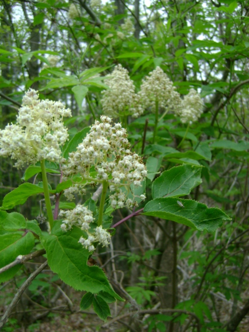 Family of elderberry flowers enjoying the drizzly day