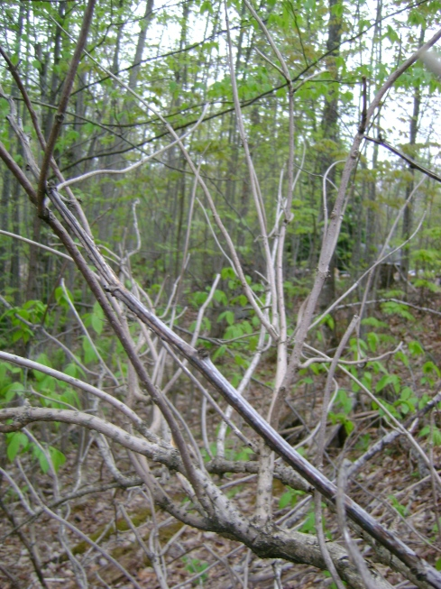Dead elderberry branches...  :(