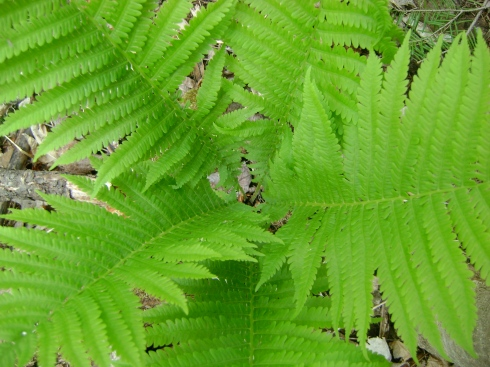 The intimate inner world of ferns