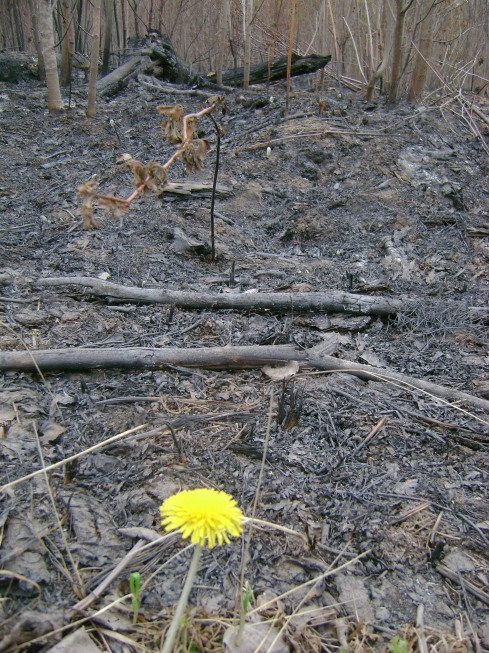 Dandelion and charred forest